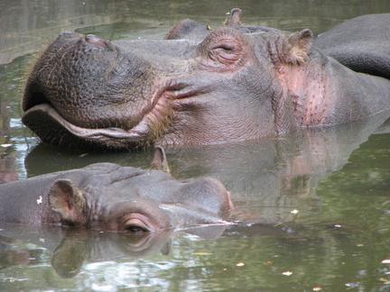 Hippopotame --